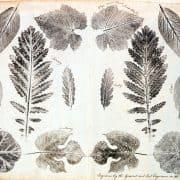 Joseph Breintnall, Nature Prints of Leaves, 1731-1744. Leaf print.