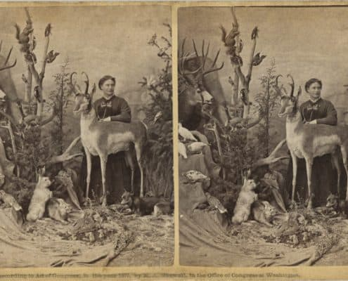 [William Chamberlain, photographer] Mrs. M. A. Maxwell's Rocky Mountain Museum, albumen print stereograph, 1875. In this stereograph, Martha Maxwell poses with her specimens at her Boulder museum.