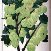 Chromolithographed catalog illustration showing Smith's Improved New American gooseberry. D. M. (Dellon Marcus), Dewey, Illustrated Descriptive Catalogue of Fruit and Ornamental Trees, Grape Vines, Small Fruits, Shrubs, Plants, Roses, etc. ([Rochester, N.Y., 1872?]).
