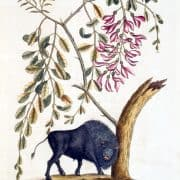 Mark Catesby, The Natural History of Carolina, Florida, and the Bahama Islands, 3rd ed. (London, 1771), vol. 1.Hand-colored engraved illustration showing Bison Americanus.