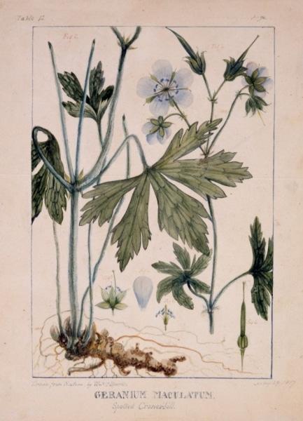 """William P.C. Barton. """"Geranium Maculatum"""" for Vegetable Materia Medica, ca. 1817. Watercolor."""