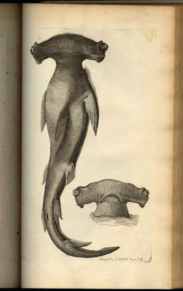 Illustration from Willughby, Francis. De Historia Piscium Libri Quatuor. Oxford: Sheldonian Theatre, 1686.
