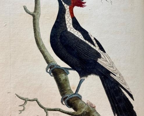 White-Billed Woodpecker